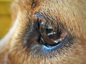 Bei hunden herpes Impfung beim