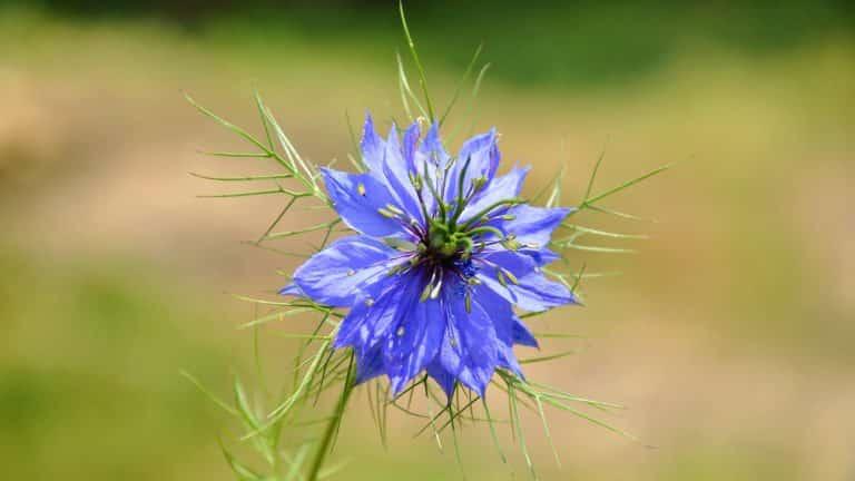 Schwarzkümmel-Blüte