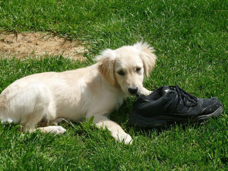 Hund mit Schuh