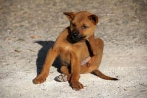 Kratzen und Hundeflöhe