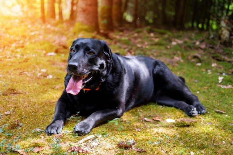Warum hecheln Hunde genau? (5 Ursachen & Tipps dagegen) 1
