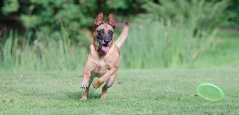 hund rennen frisbee