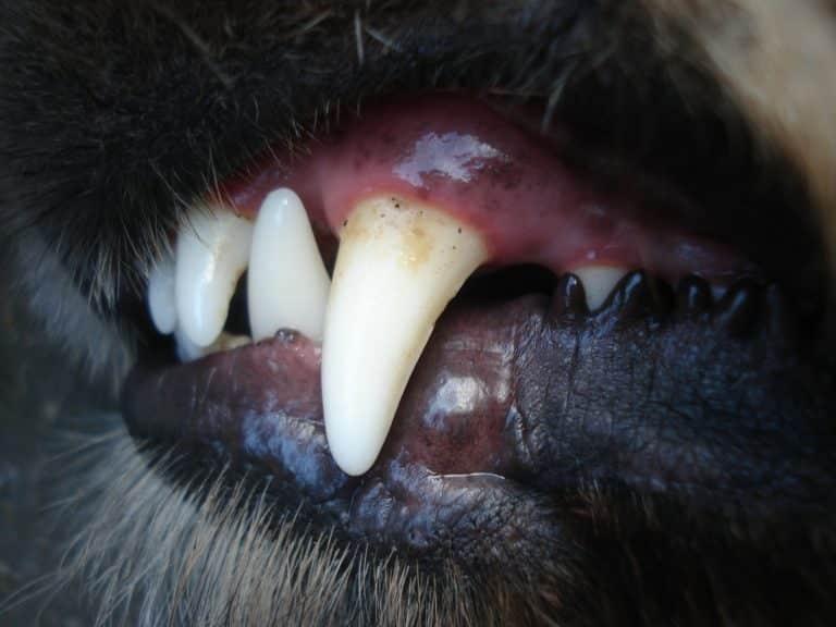 Hund Zahn