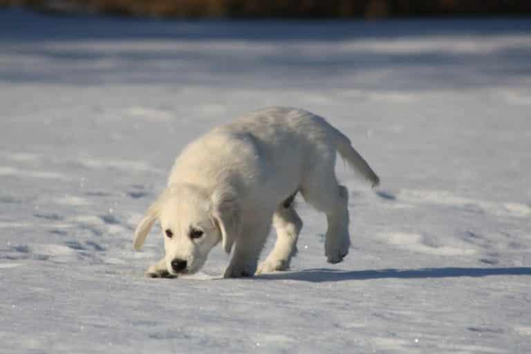 Schnee Hund