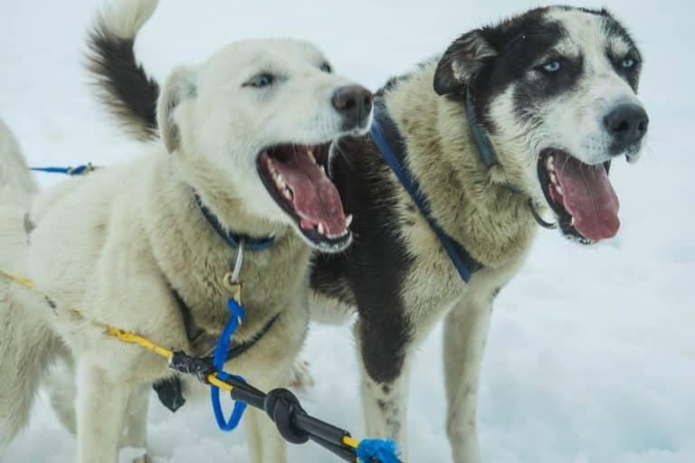 Dogscooter Schlittenhund