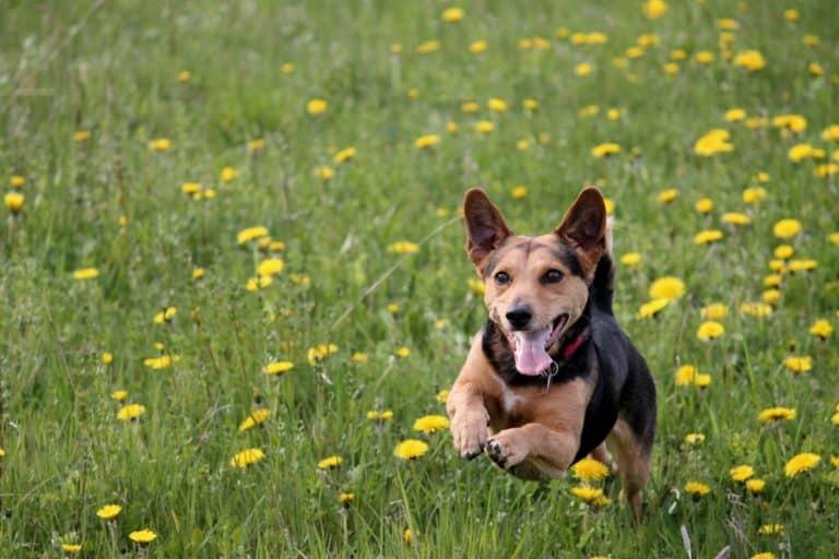 Bachblüten beim Hund (7 gute Einsatzmöglichkeiten) 4