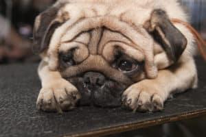 Darmverschluss Hund