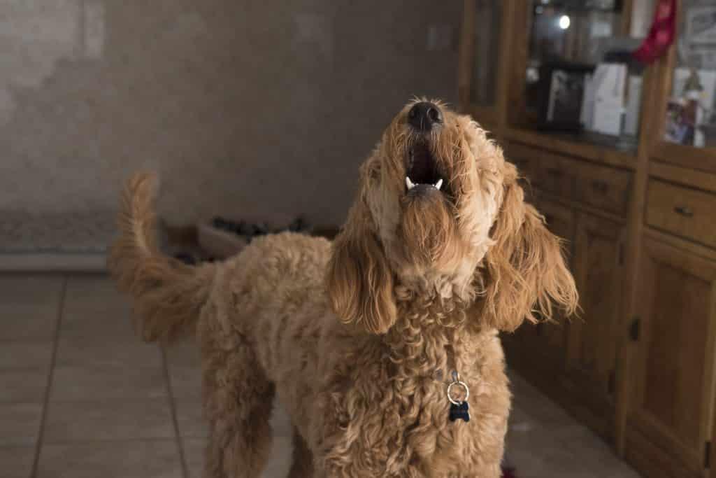 Hund beim Bellen