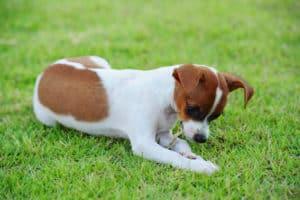 Hund frisst Gras