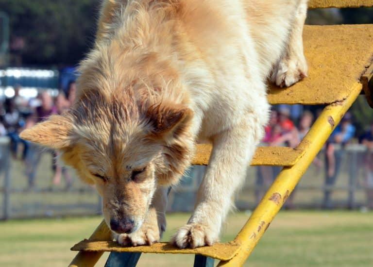 Hund Klettern Rampe
