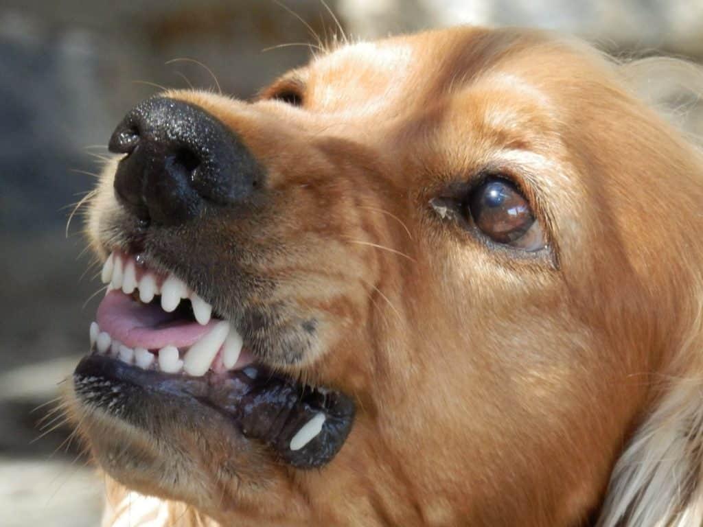 Hund beisst aggressiv