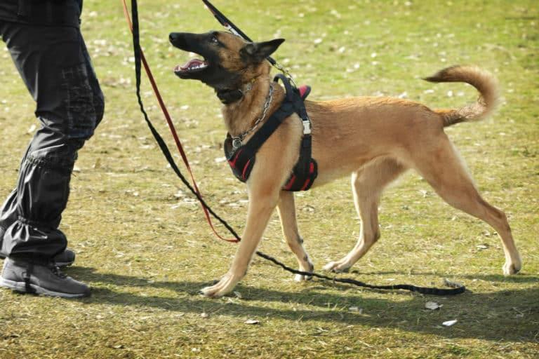 Hund mit Geschirr beim Training
