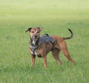 Hundegeschirr am Hund
