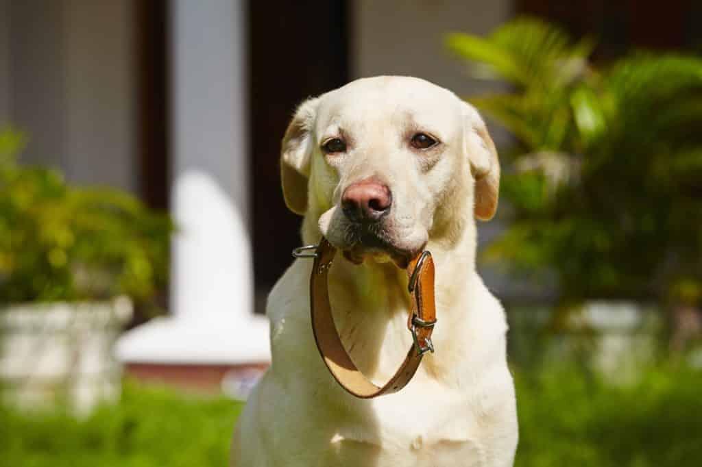 Halsband am Hund