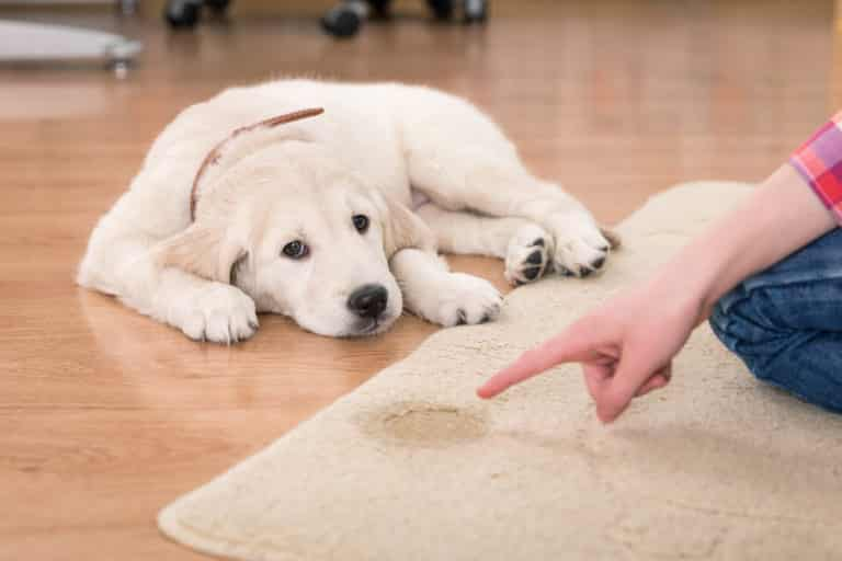 Hund pinkelt in Wohnung