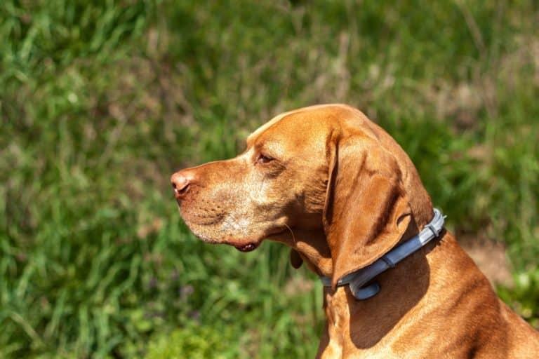 Zeckenhalsband Hund