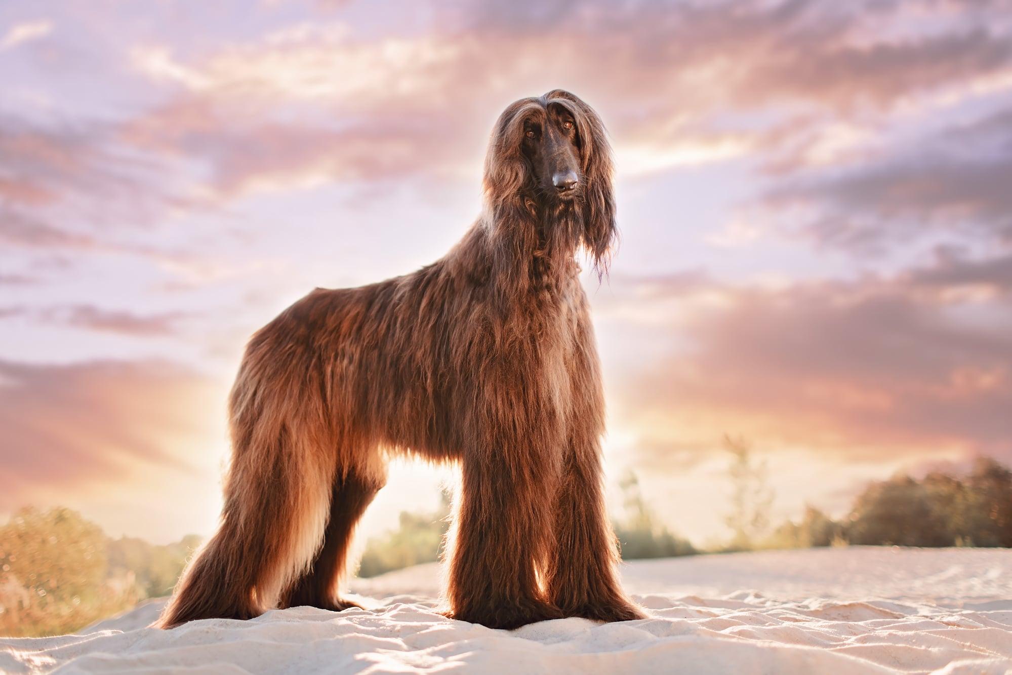 Afghanischer Windhund 2