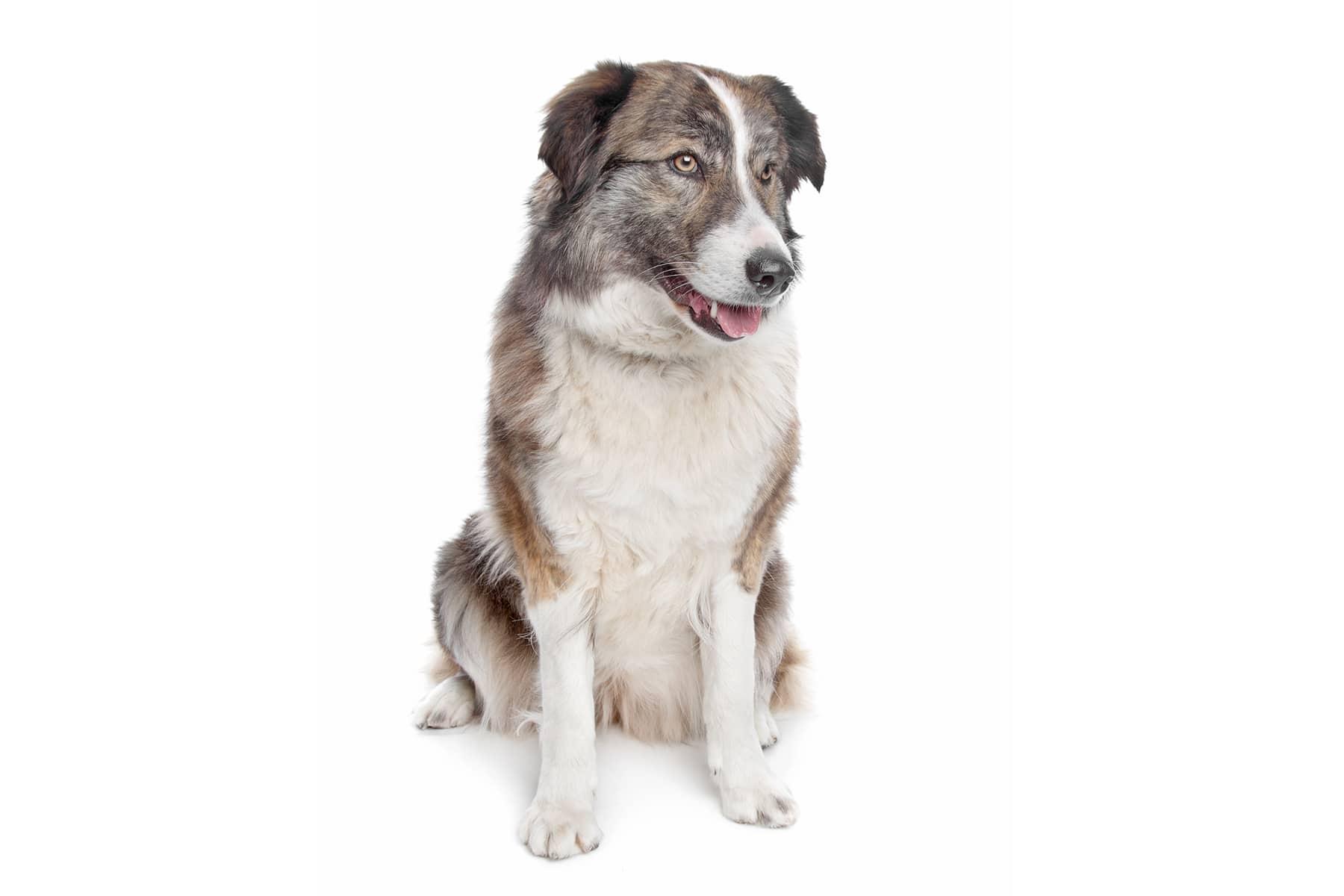 Aïdi Hund Profilbild