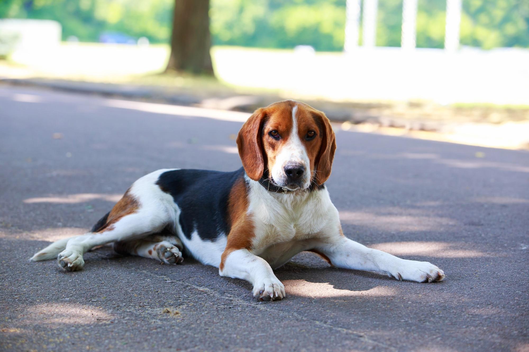 American Foxhound liegend