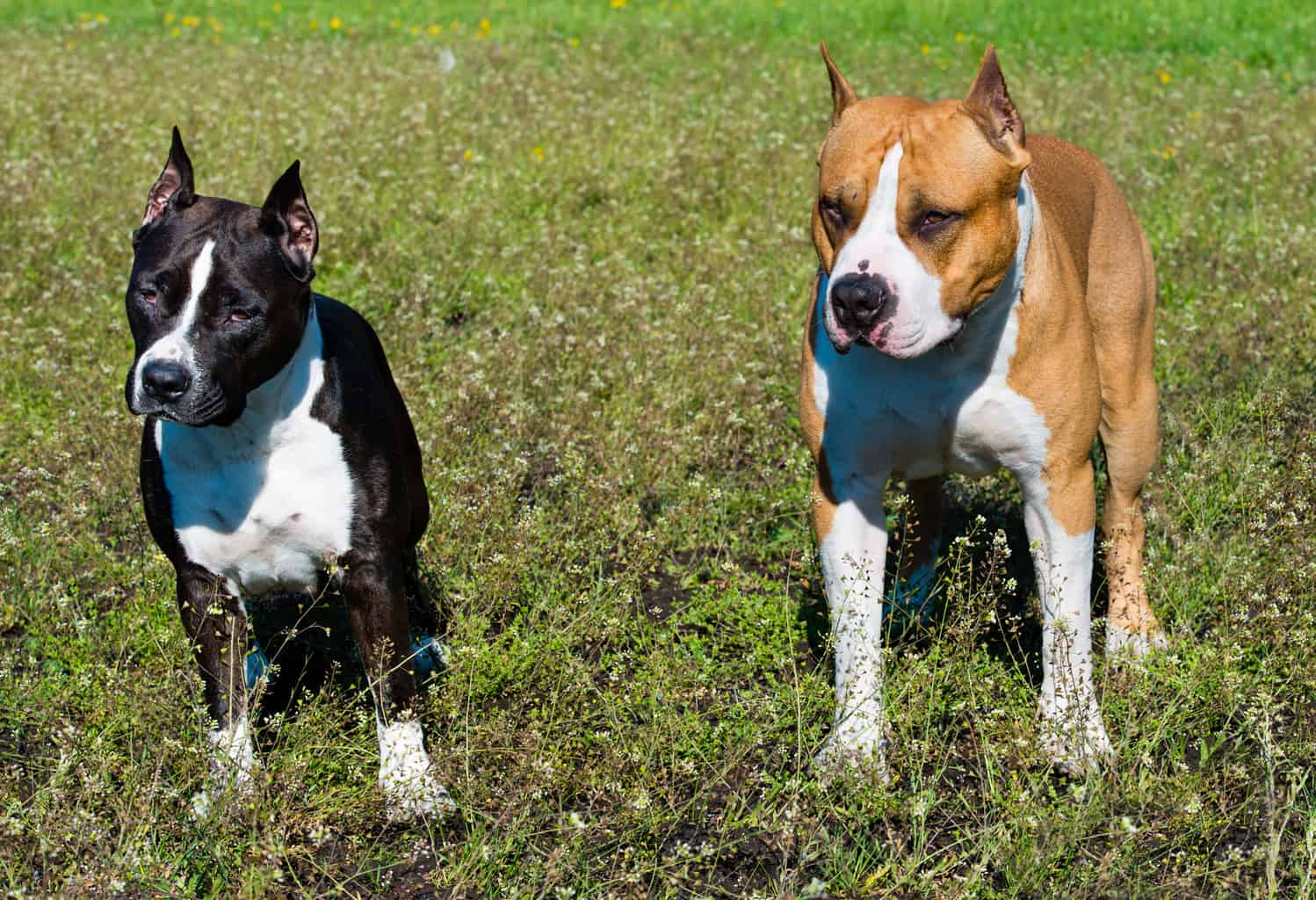 American Staffordshire Terrier 2