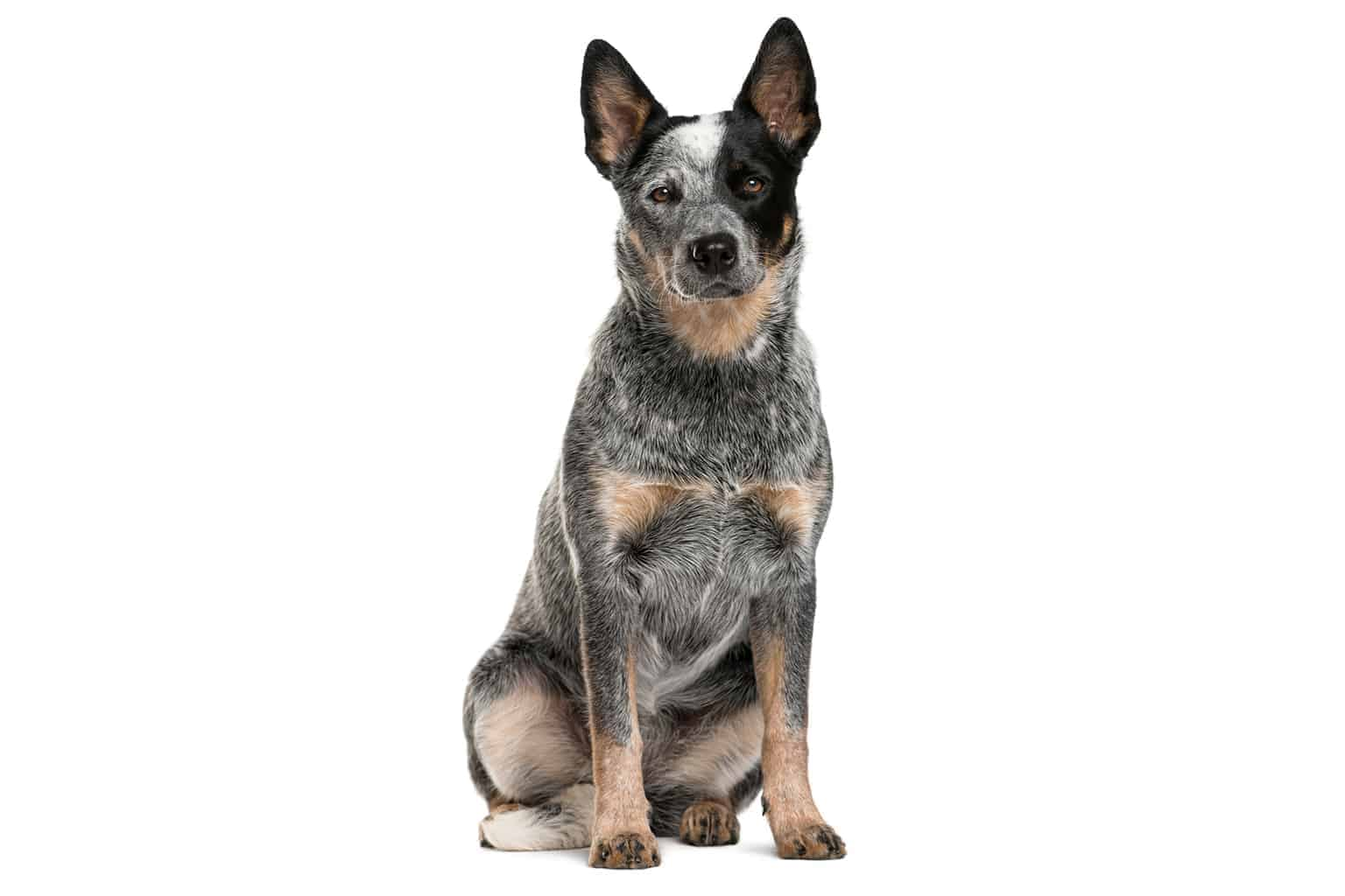 Australian Stumpy Tail Cattle Dog Profilbild