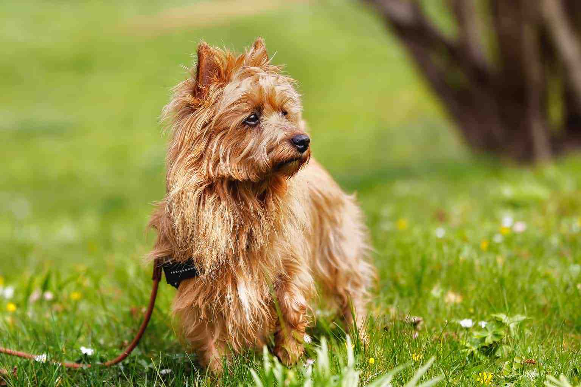 Australian Terrier 1