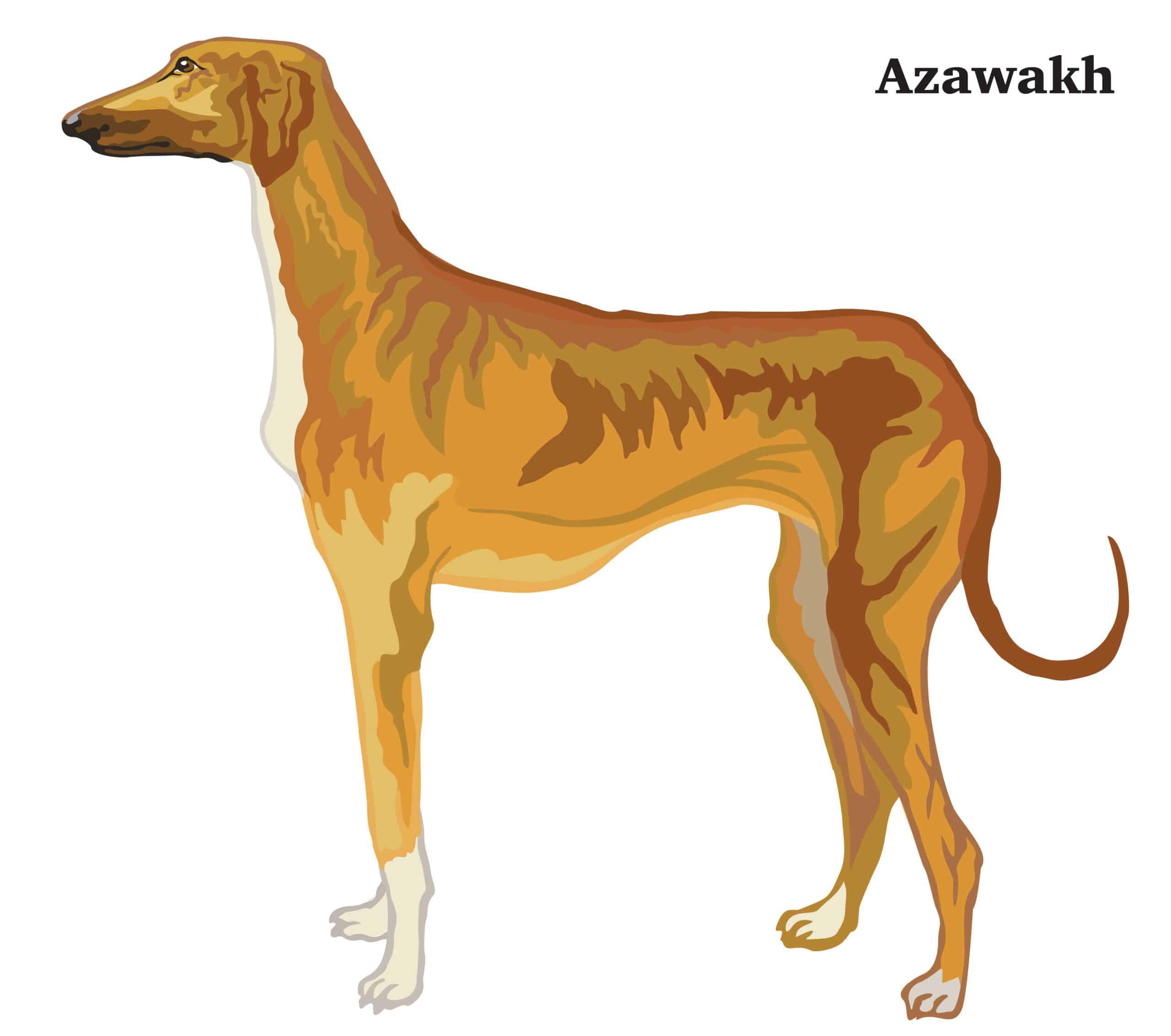 Azawakh Geschichte