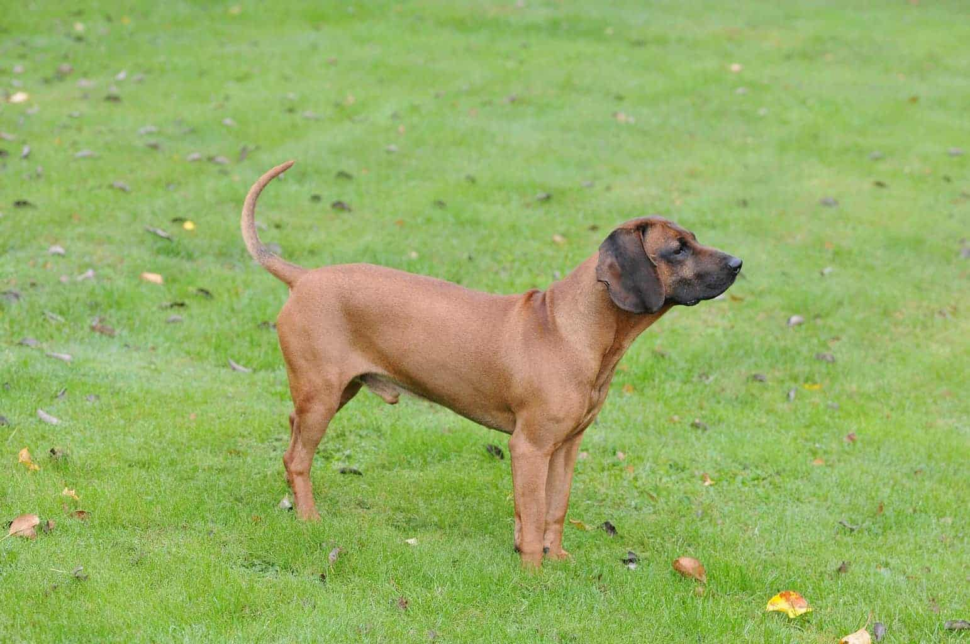 Bayerischer Gebirgsschweißhund 1