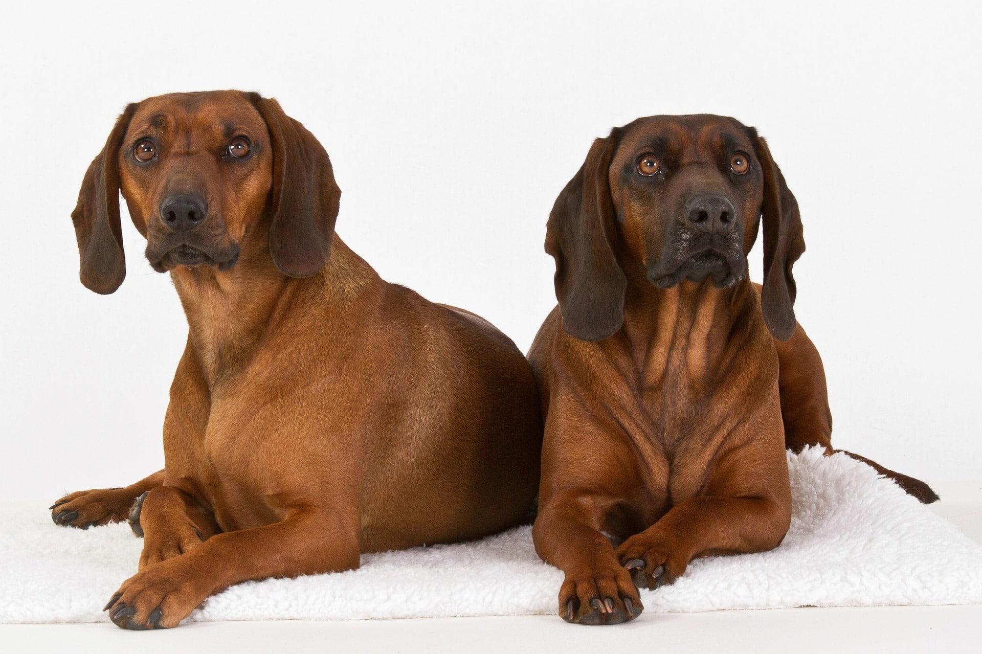 Bayerischer Gebirgsschweißhund 2