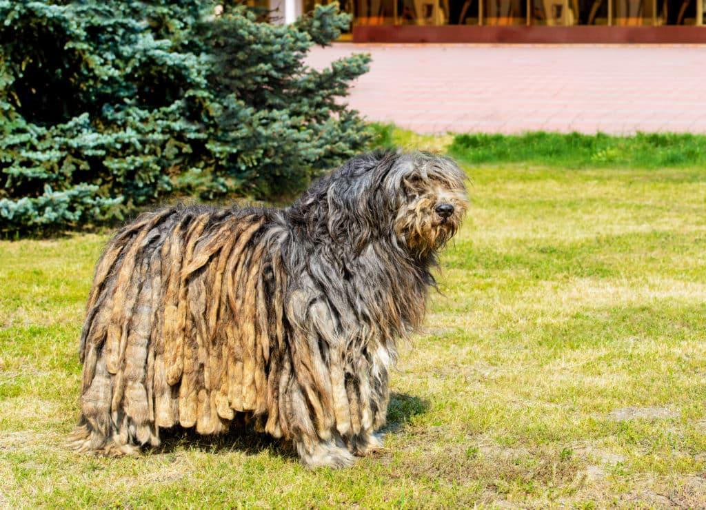 Bergamasker Hirtenhund 1