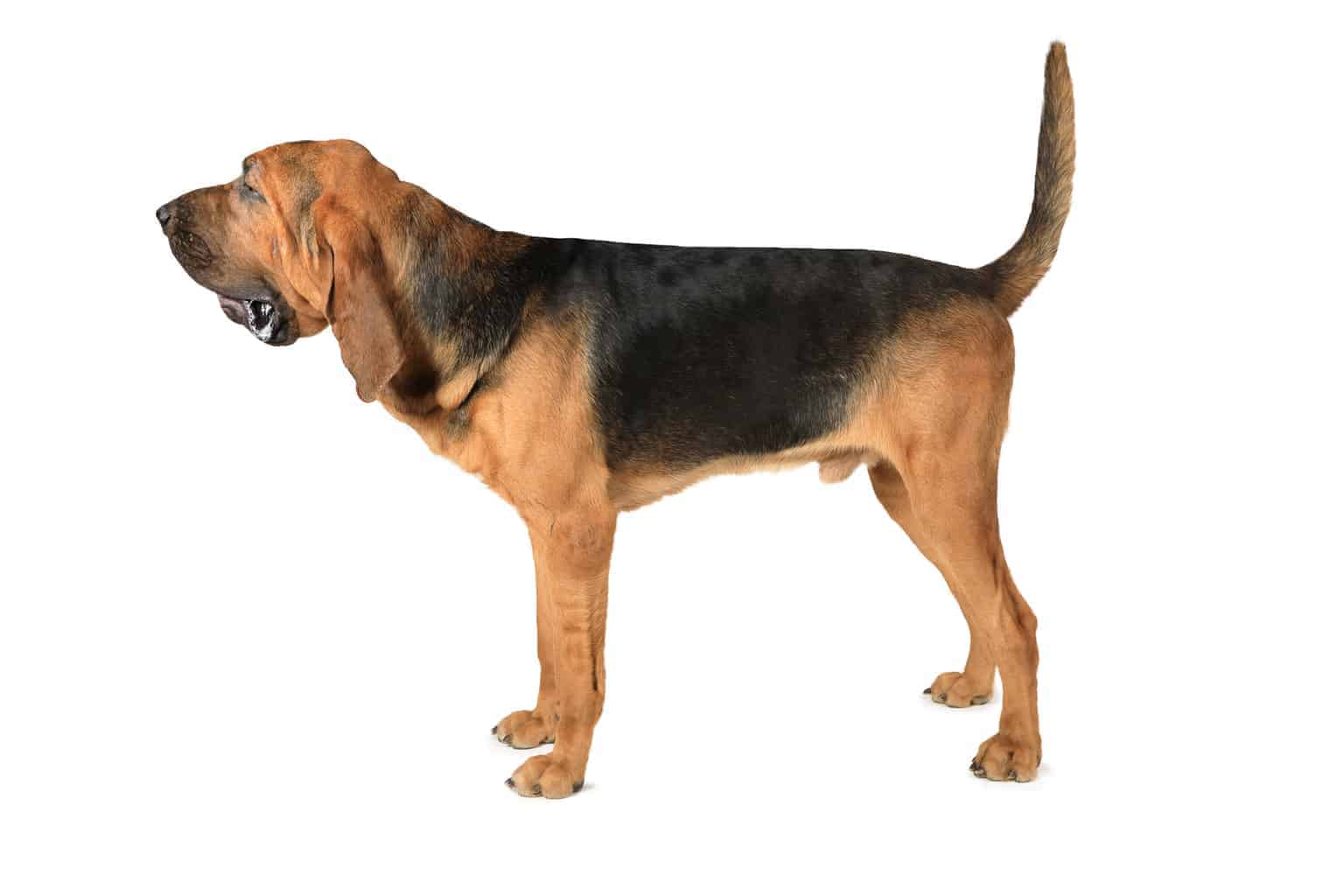 bild_bloodhound