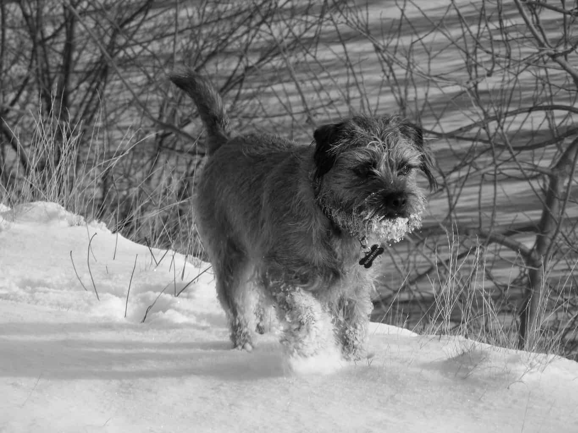 Border Terrier_3