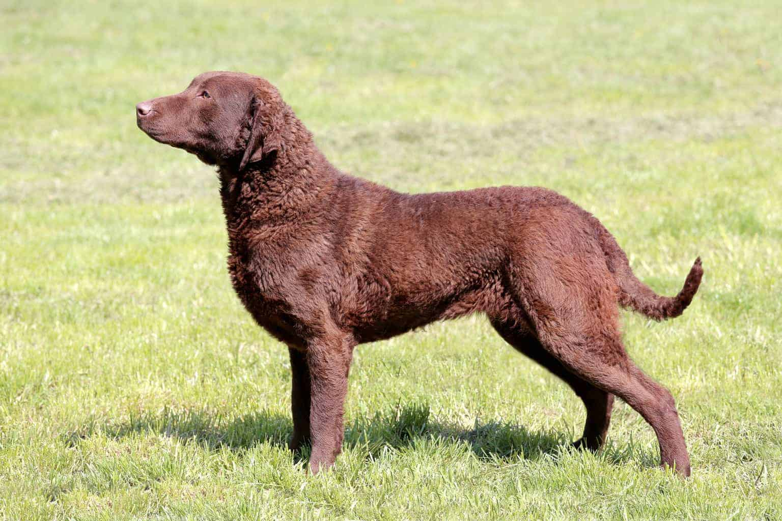 Chesapeake Bay Retriever 1