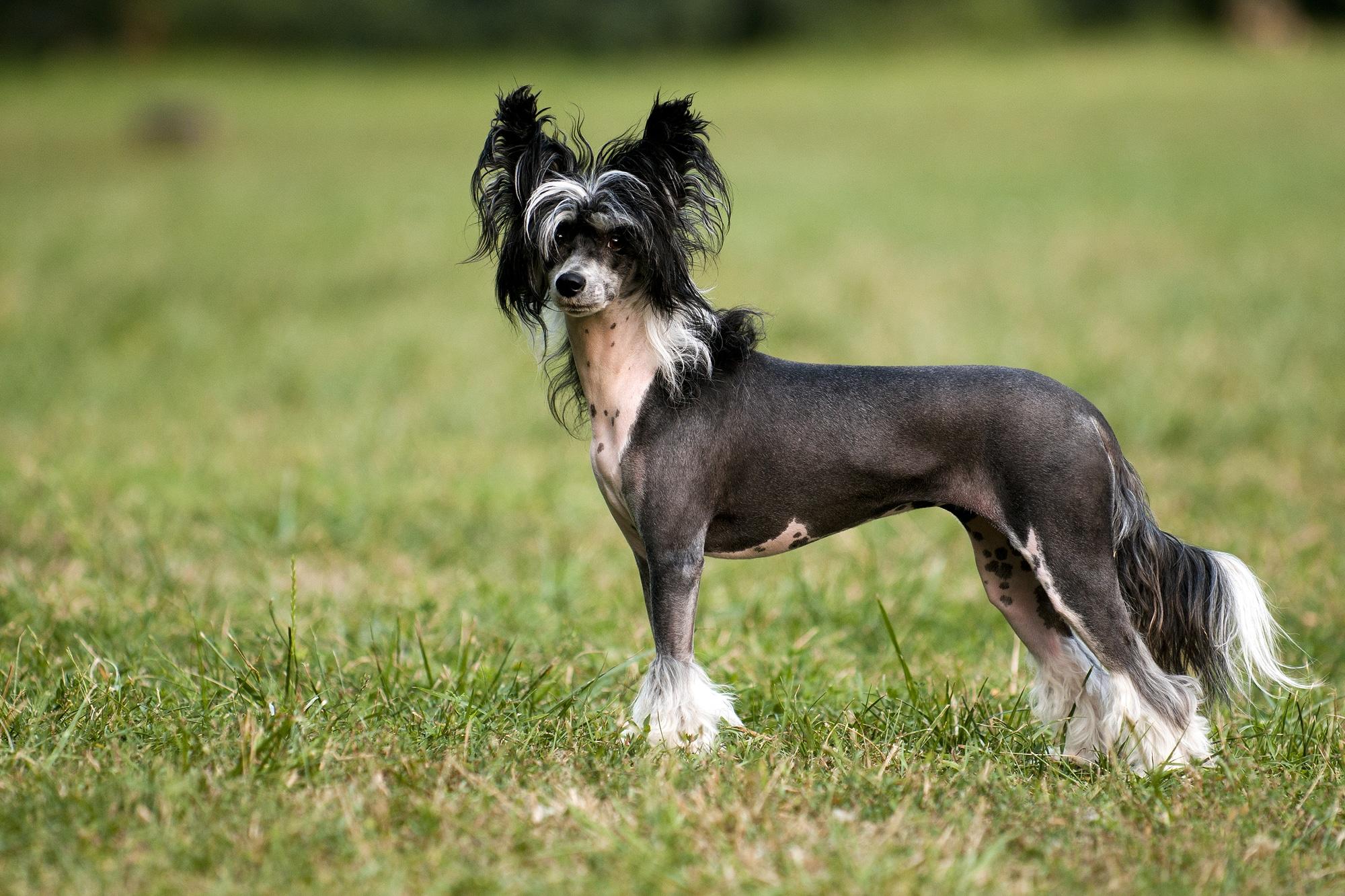 Chinesischer Schopfhund 1