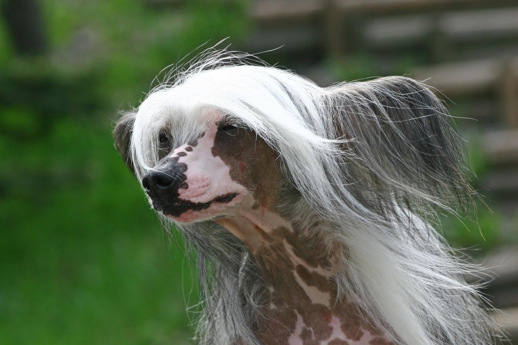 Chinesischer Schopfhund 2