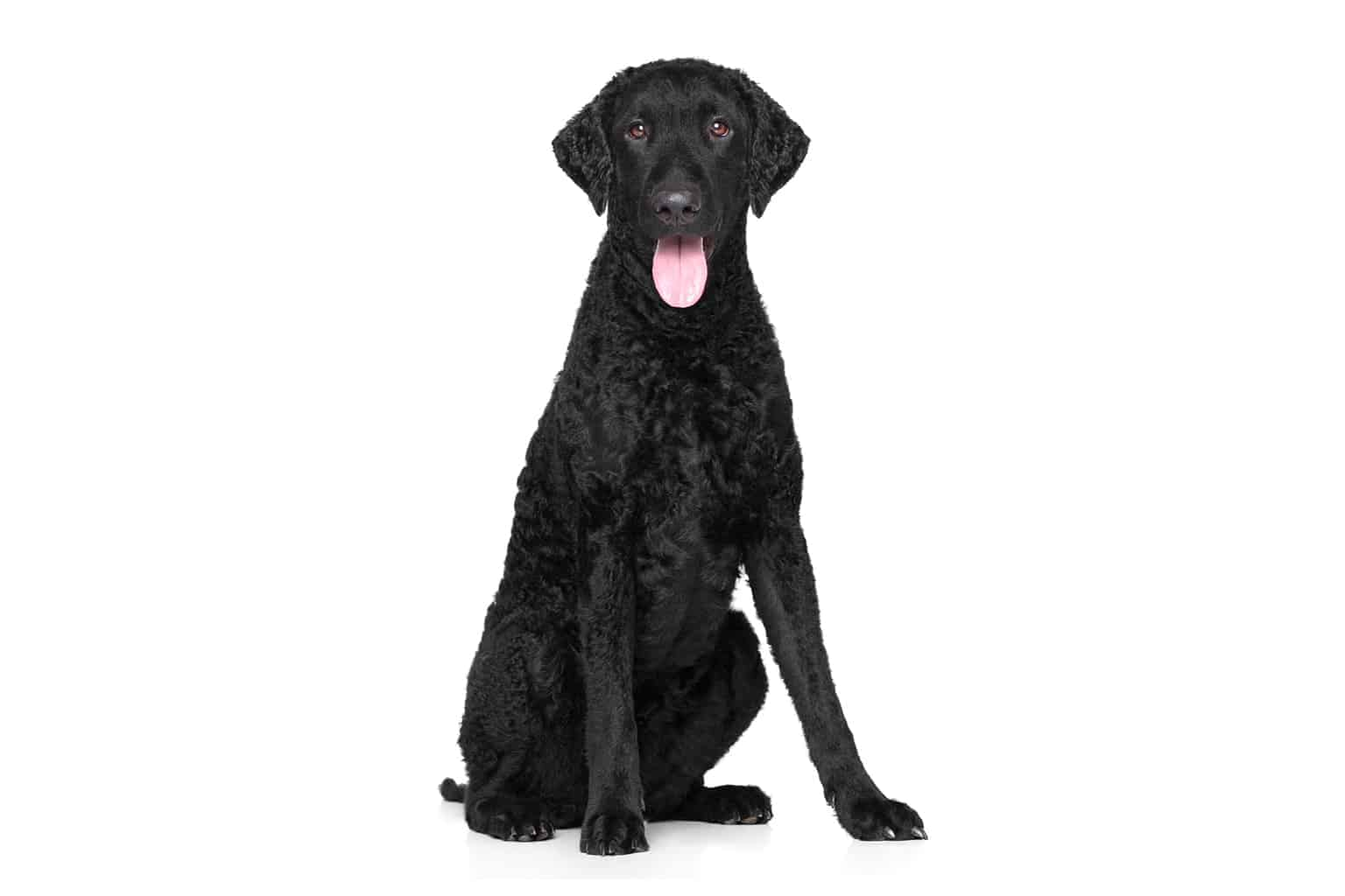 Curly Coated Retriever Profilbild