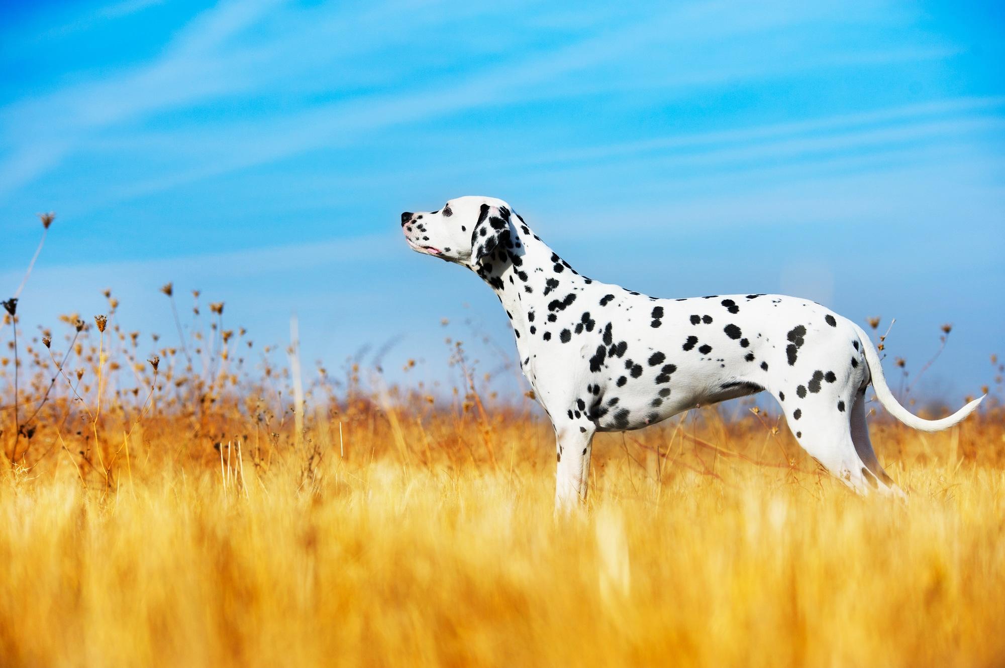 Dalmatiner 1