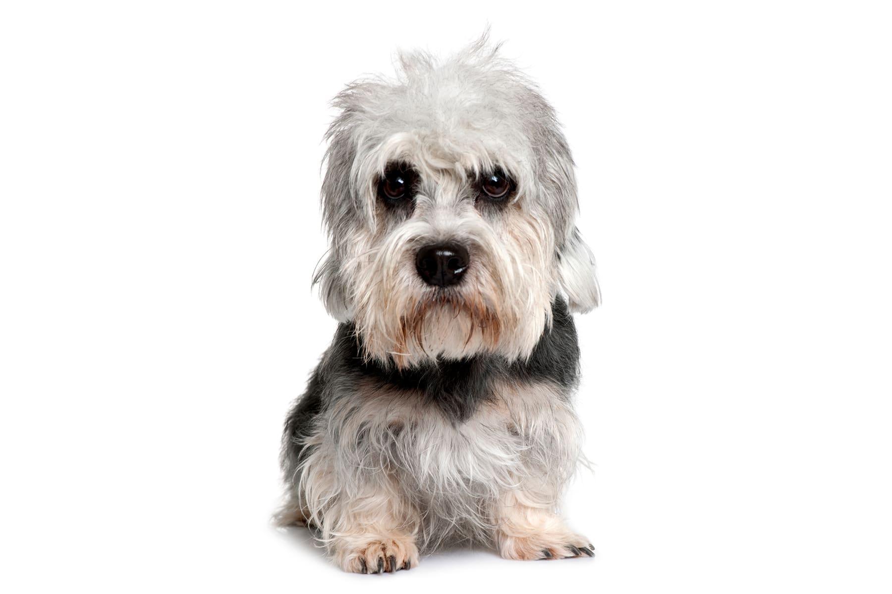 Dandie Dinmont Terrier Profilbild