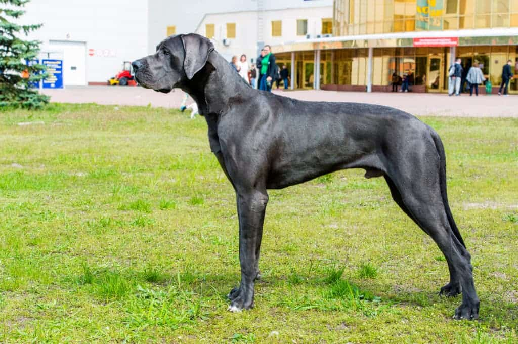 Deutsche Dogge 1