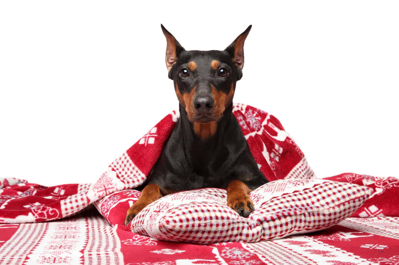 German Pinscher under blanket posing on a white background. Animal themes