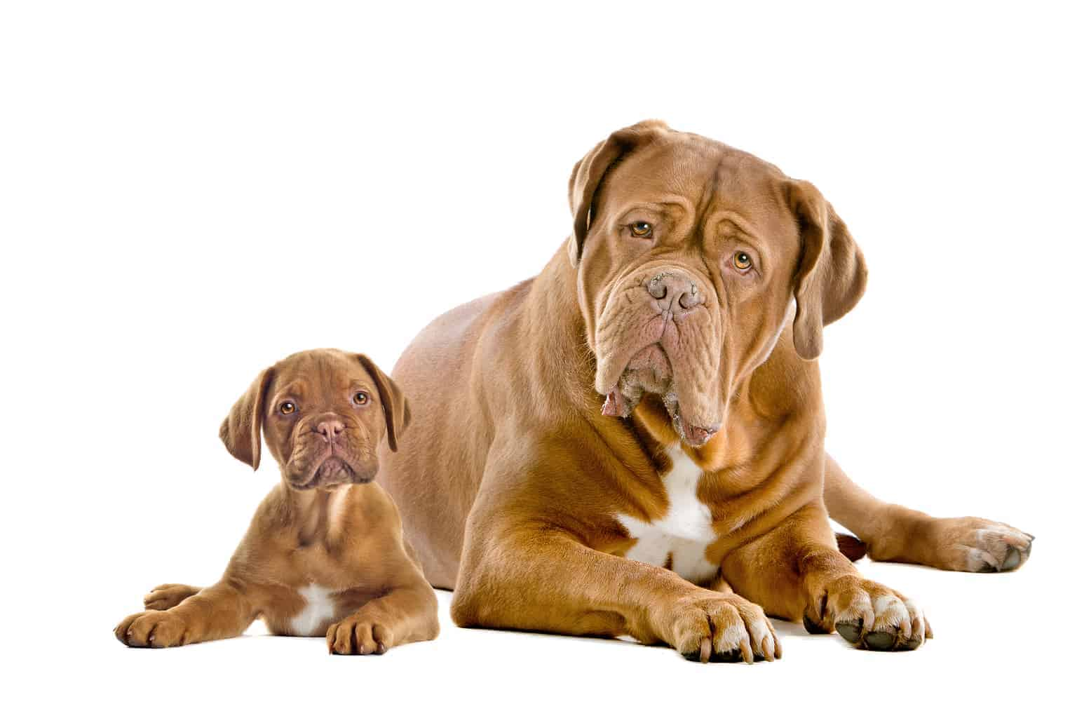 Dogue De Bordeaux mit Welpe