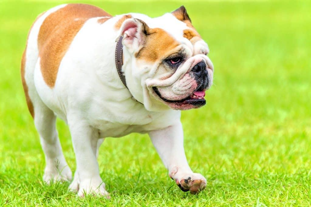 Englische Bulldogge 2