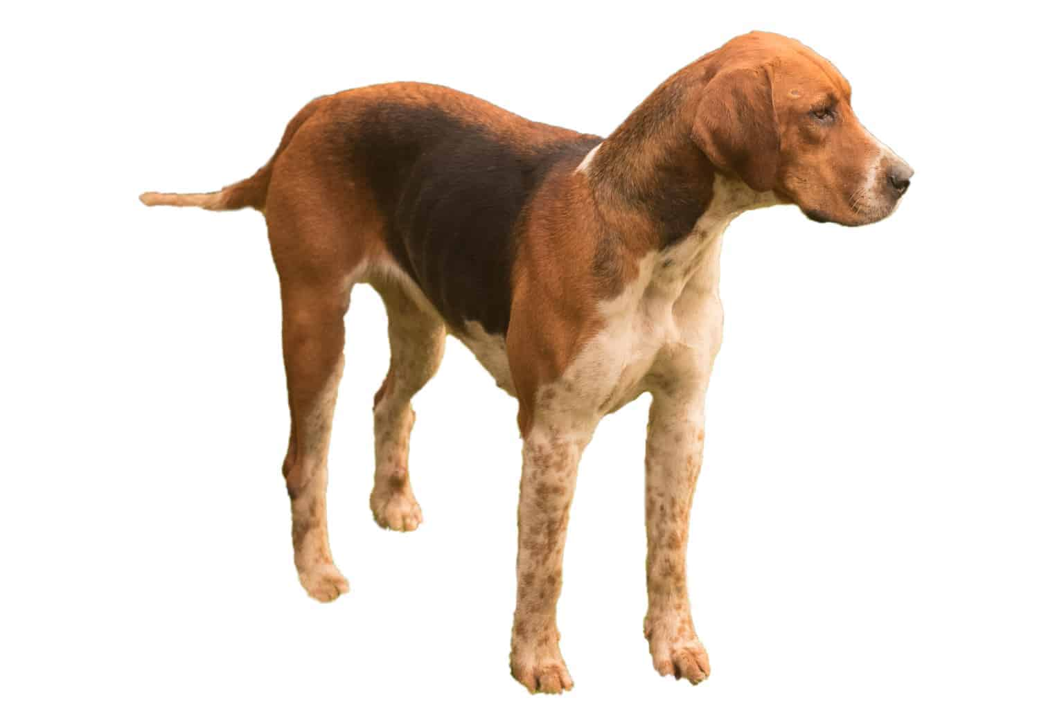 English Foxhound Hunderasse Profil