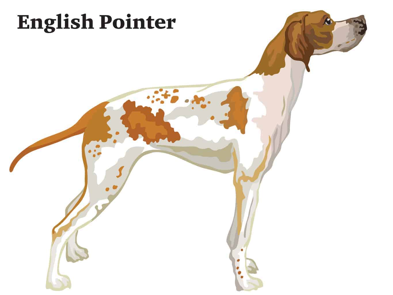 English Pointer Geschichte