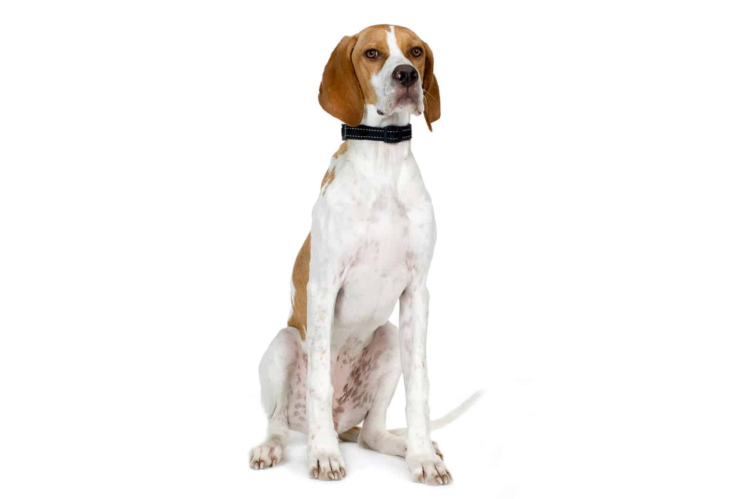 English Pointer Profil