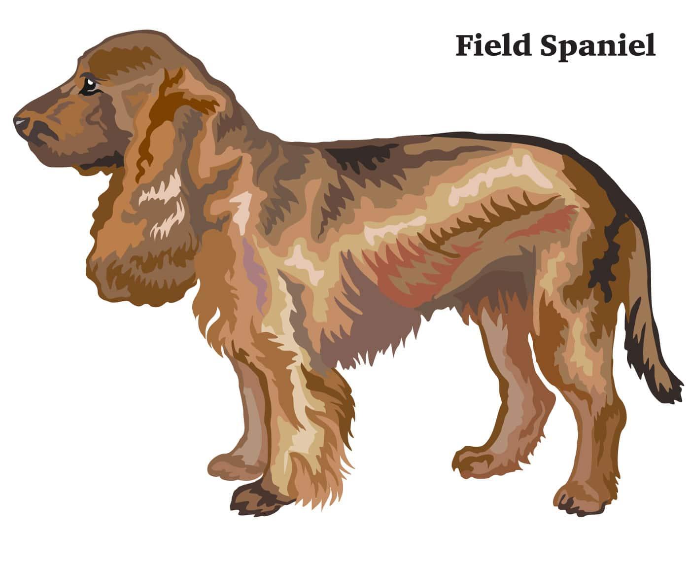 Field Spaniel Geschichte