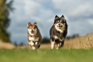 Finnischer Lapphund 1