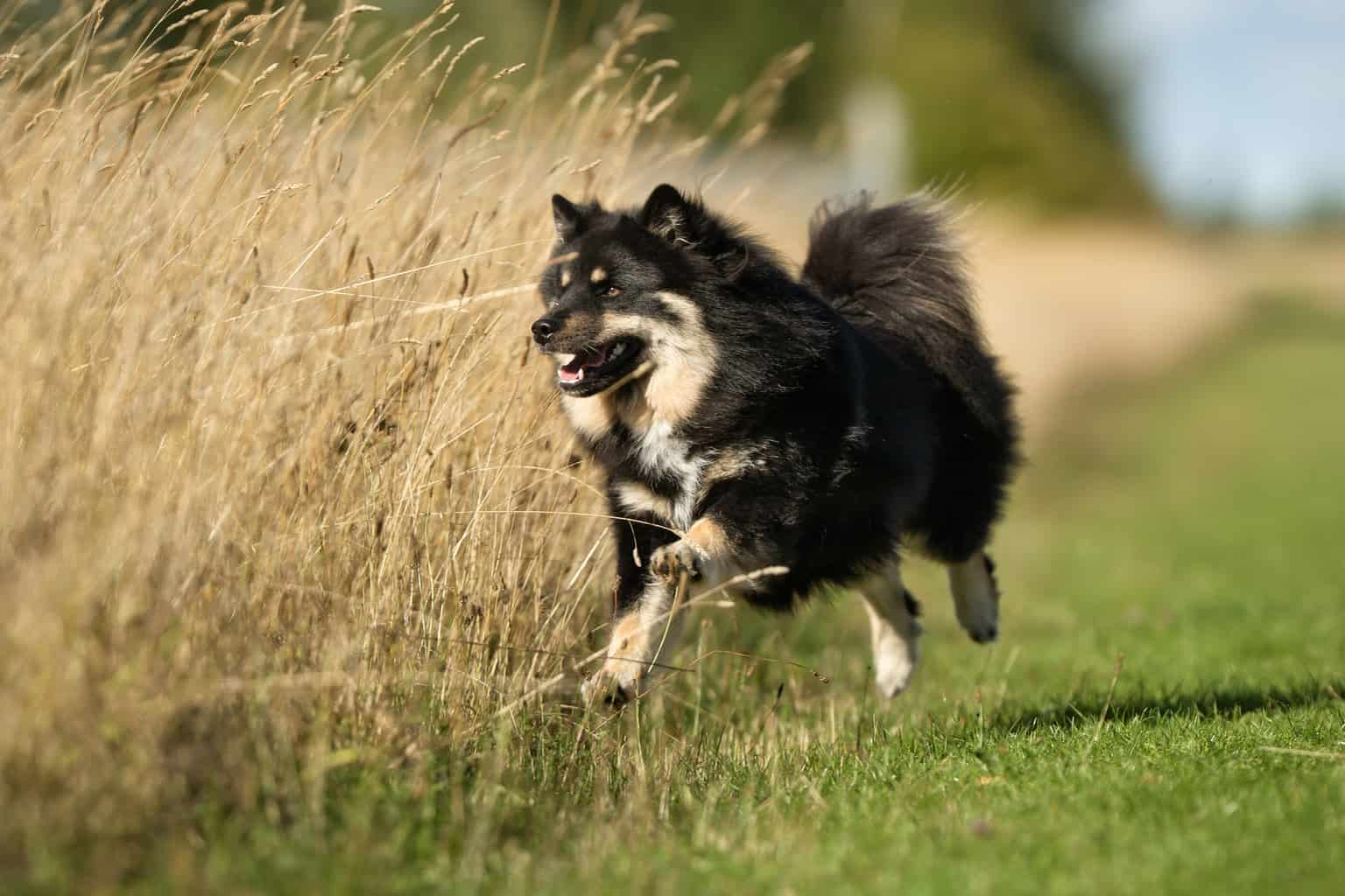 Finnischer Lapphund 2