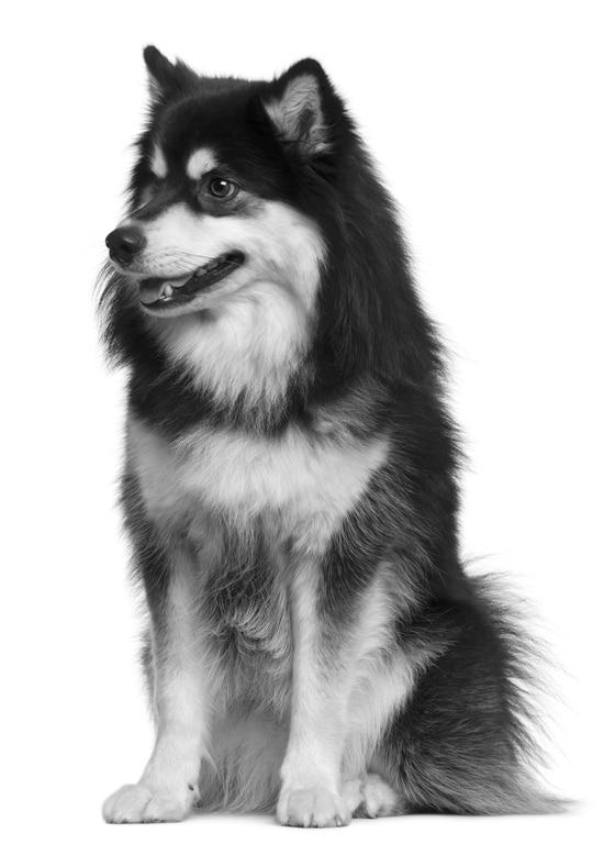 Finnischer Lapphund Herkunft