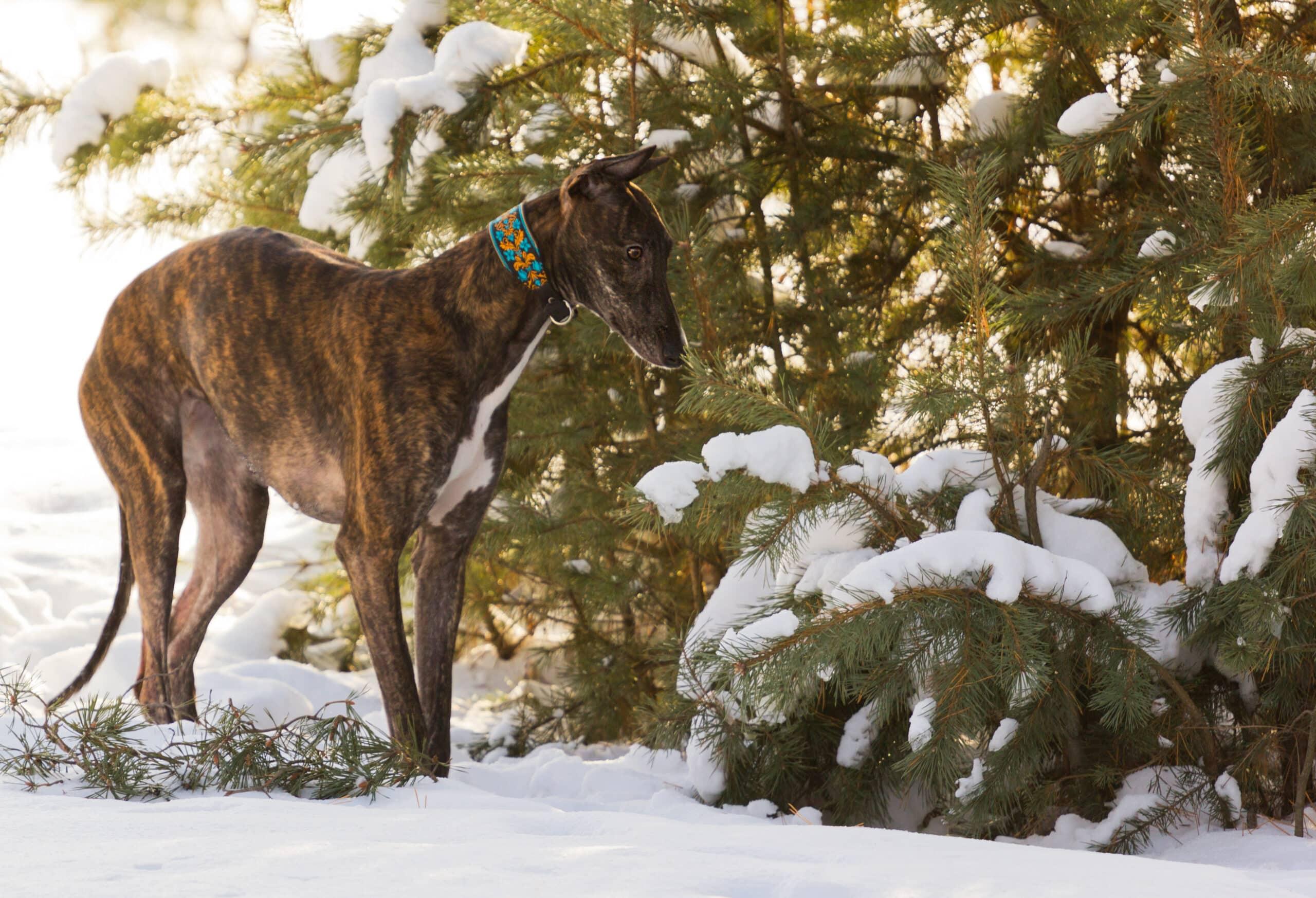 Greyhound im Schnee